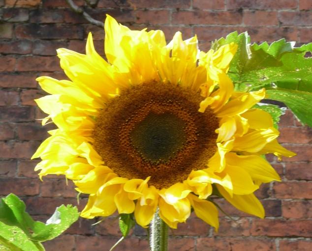 CU Sunflower