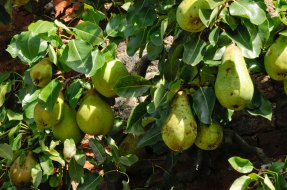 218-cannonhallguidebook_8377_pear-day