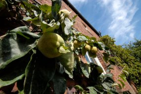 220-cannonhallguidebook_2002-pear-day-quince