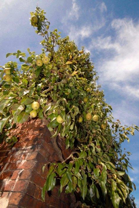 221-cannonhallguidebook_1991-pear-day