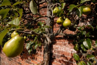 225-cannonhallguidebook_2076-pear-day