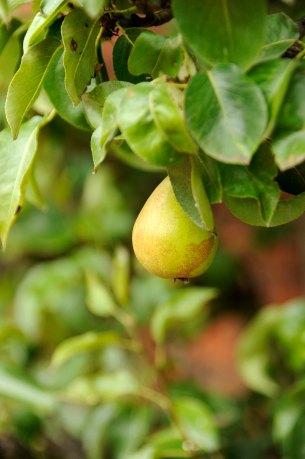 90-cannonhallguidebook_7565_pear-day