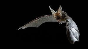 brown long eared bats