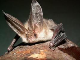 Commom pip bat